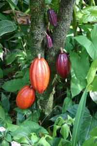 cacao-pods
