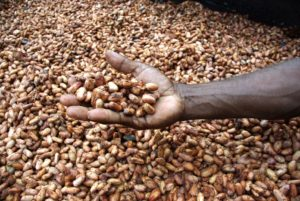 Medium close up image of David Kebu Jnr holding cocoa beans drying in the sun.