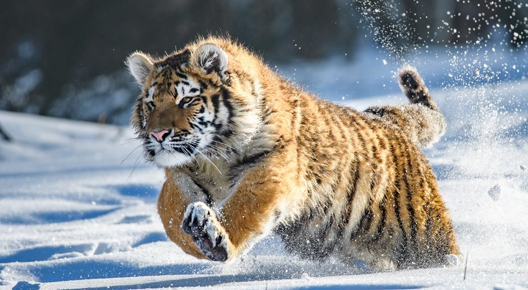 World's last wild Siberian tigers threatened by illegal logging, global warming, disease (Part II)